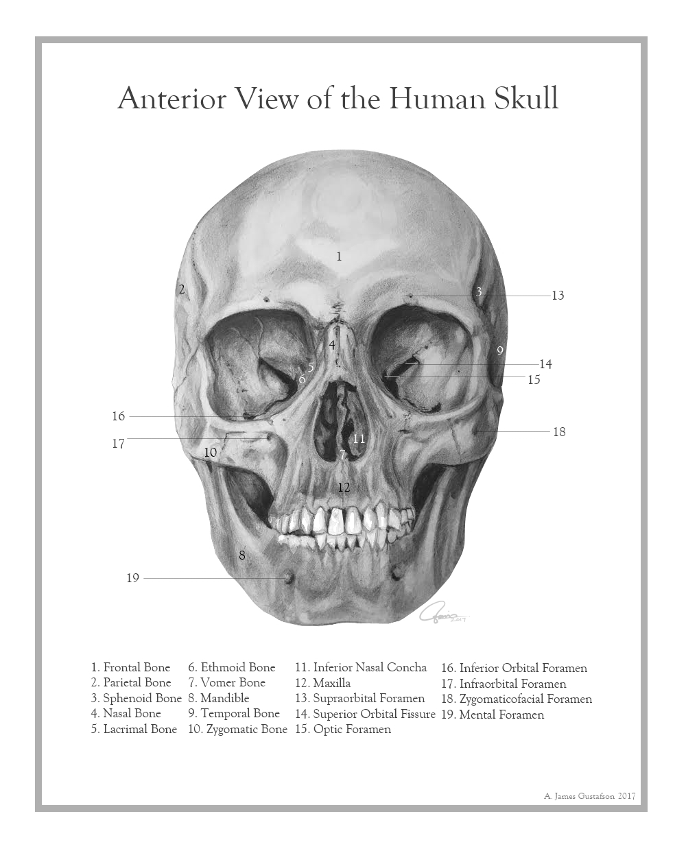 Anterior View of the Human Skull by ajgus on DeviantArt