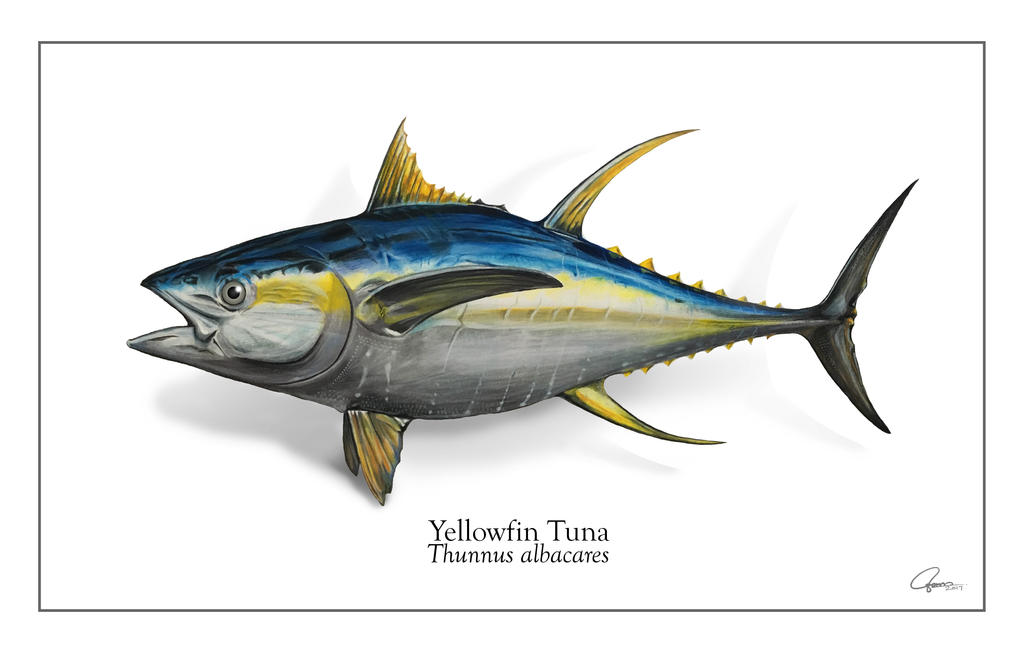 Yellowfin Tuna by ajgus on DeviantArt