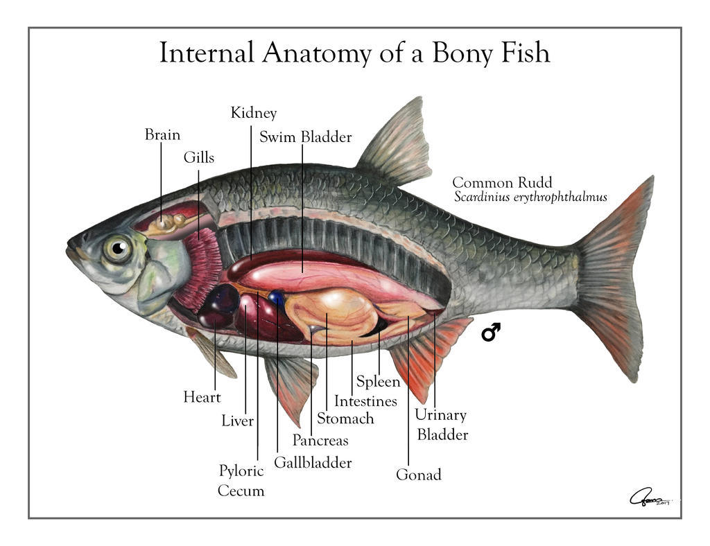 Bony Fish Internal Anatomy Diagram - Illustration Of Wiring Diagram •
