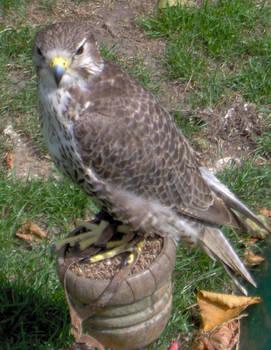 Bird of Prey 4