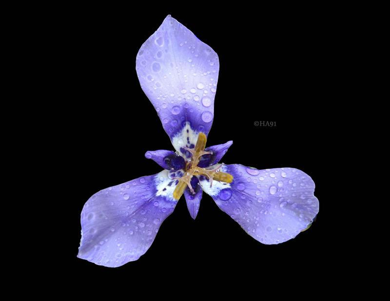 Purple Rain by HA91