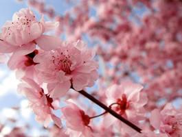 Cherry Blossom by jiaaini