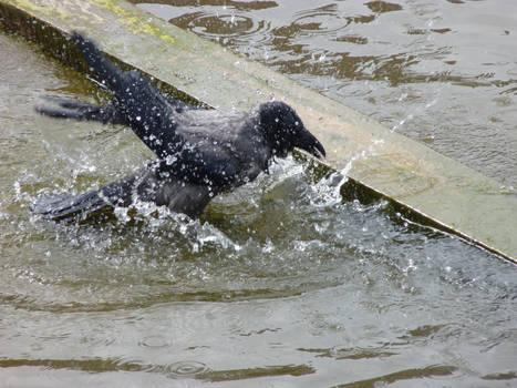 Hooded Crow 1