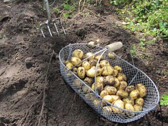 potato harvest by Merlinator-Stock