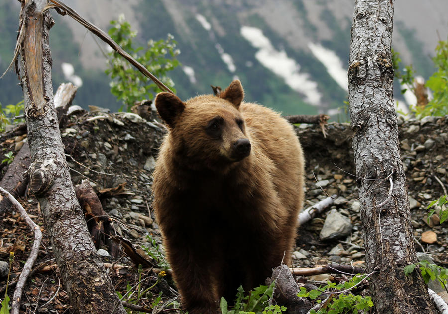 Grizzly by CyranoNova