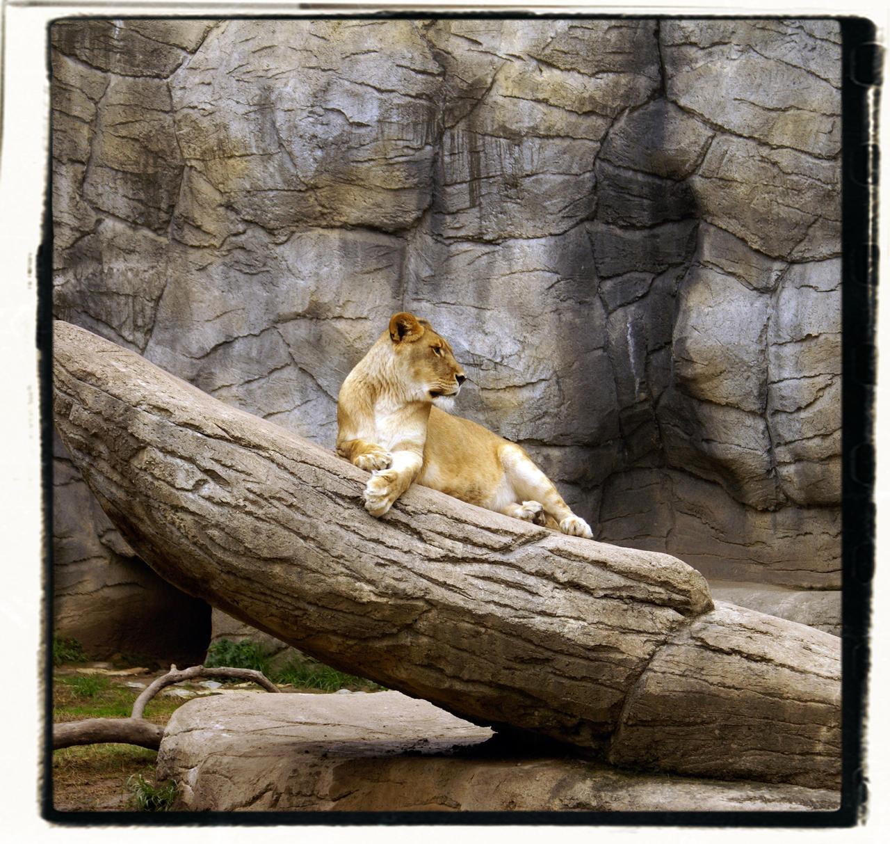 Lioness I by studiocaze