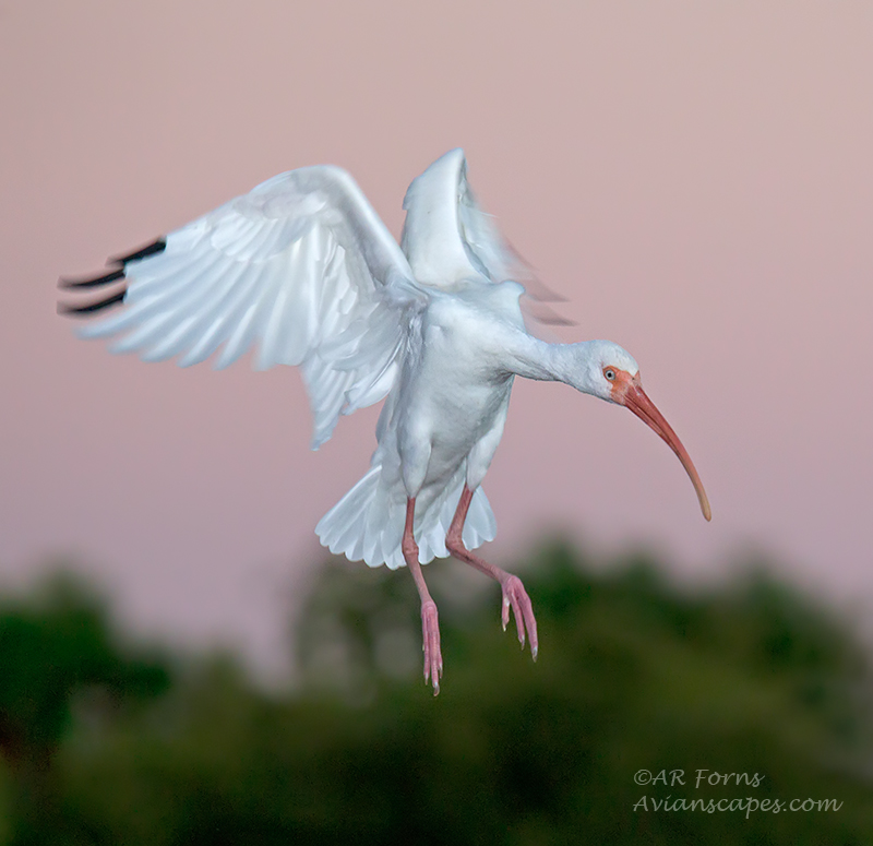 Landing Ibis by AForns