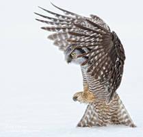 Northern Hawk Owl by AForns