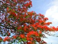 Poincianna tree by Writer4Him