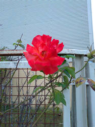 The rose by GhostOfTheEmptyGrave