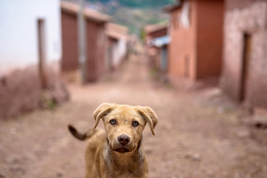 Peruvian Doge by E-mune