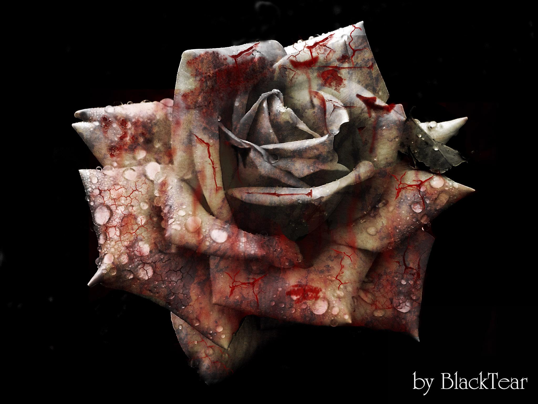 Dead_Rose_by_DeathsBlacktear.jpg