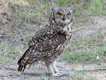 Zoo Tycoon Profile: Spotted Eagle-Owl