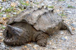 Zoo Tycoon Profile: Alligator Snapping Turtle