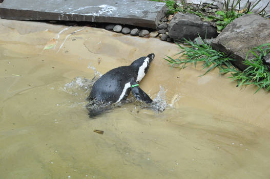 Silleh penguin