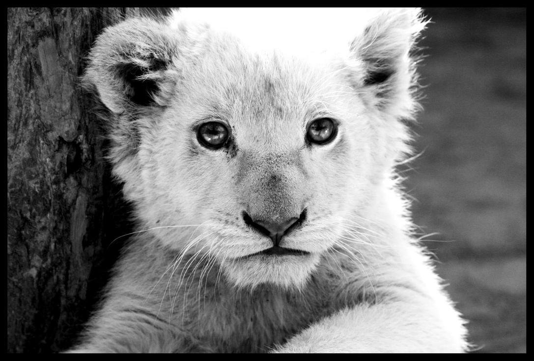White Lion Cub by TonallyTormented - White lion