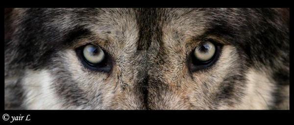 wolf eyes by Yair-Leibovich