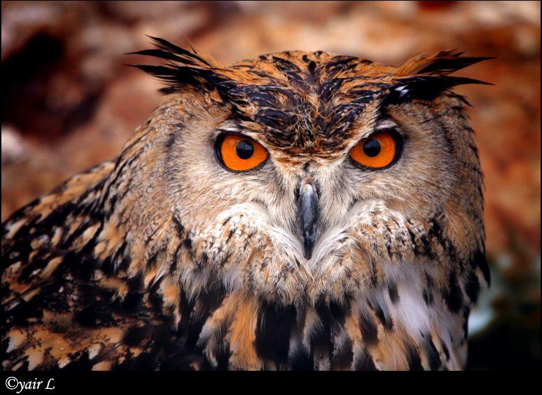 Eurasian Eagle Owl by Yair-Leibovich