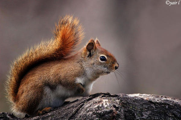 squirrel by Yair-Leibovich