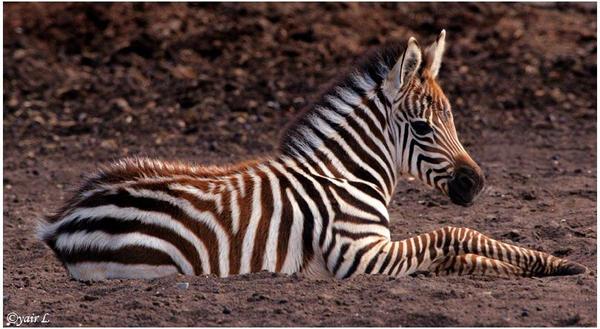 Baby Zebra by Yair-Leibovich