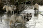 wolf pack in the lake