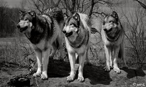 wolves in focus