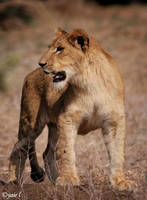 a young lion by Yair-Leibovich