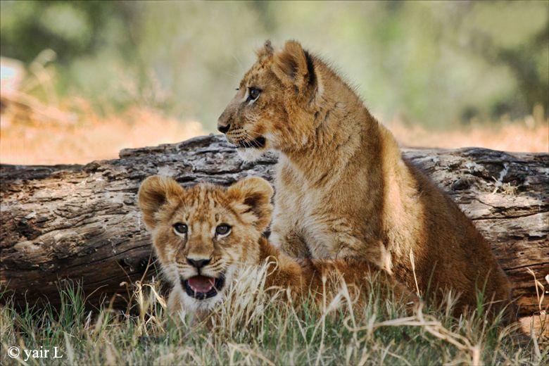 http://fc05.deviantart.net/fs37/f/2008/278/5/b/lion_cubs_by_wolveskeeper.jpg