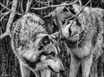 playful wolves