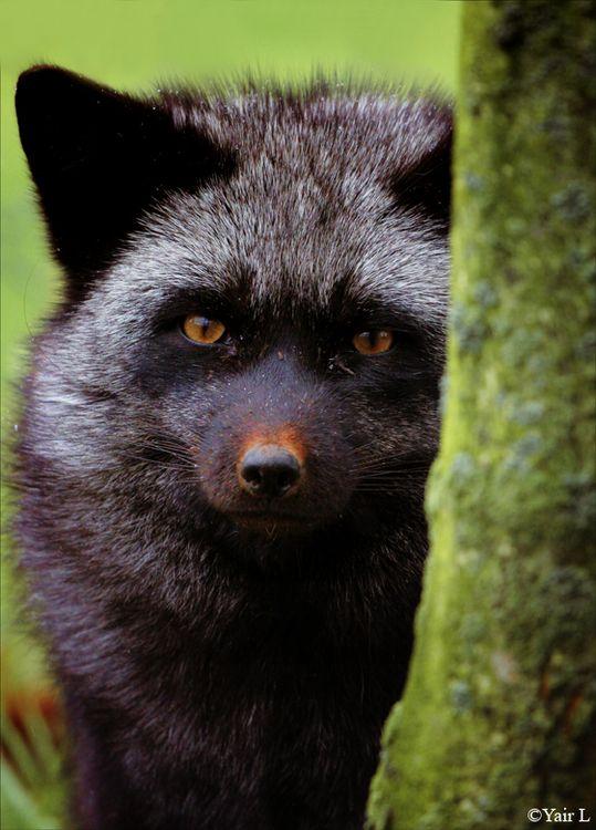 shy fox by Yair-Leibovich
