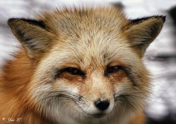red fox 2 by Yair-Leibovich