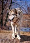 happy wolf on a log