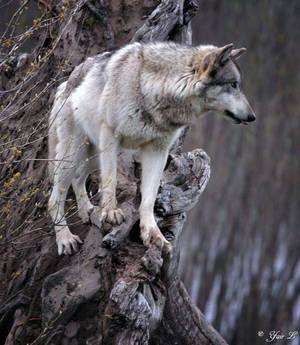 tree wolf 2