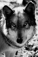 WOLF by Yair-Leibovich