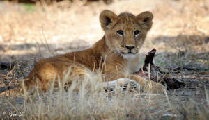 lion cub 2