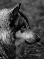 wolf 2 by Yair-Leibovich
