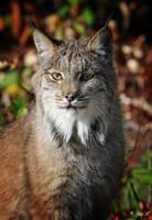 a lynx portrait by Yair-Leibovich