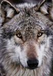 gray wolf by Yair-Leibovich