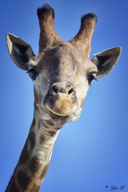 giraffe close up by Yair-Leibovich