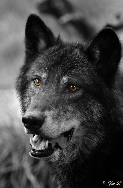 http://fc09.deviantart.net/fs70/f/2010/079/8/7/black_wolf_portrait_by_wolveskeeper.jpg