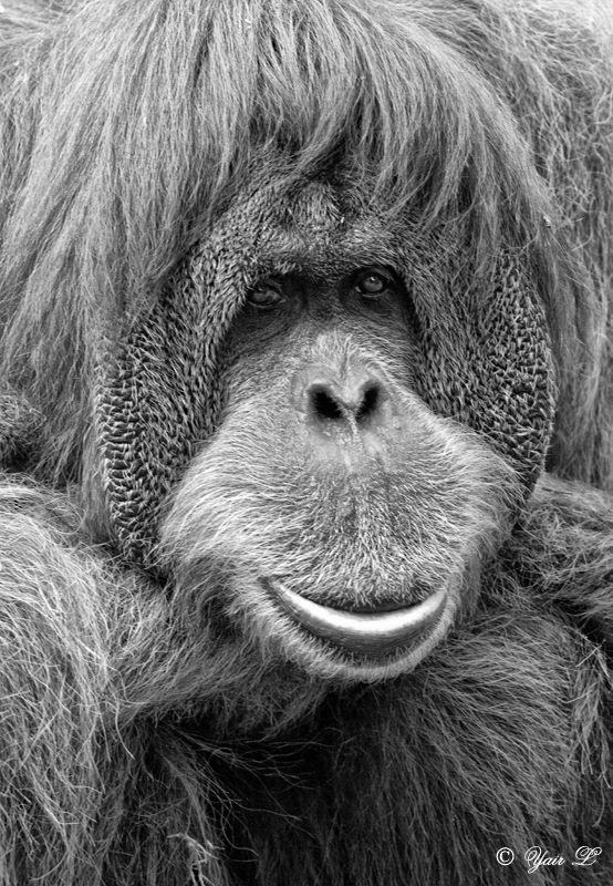 orangutan by Yair-Leibovich