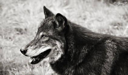 black wolf profile by Yair-Leibovich