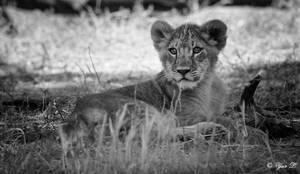lion cub bw by Yair-Leibovich