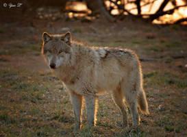 sundown wolf by Yair-Leibovich