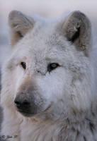 white wolf portrait by Yair-Leibovich