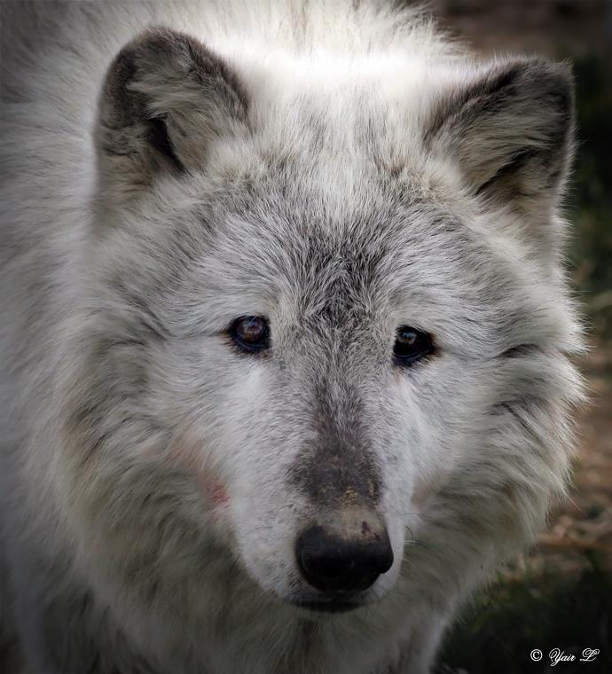 GREY WOLF SAD EYES by Yair-Leibovich