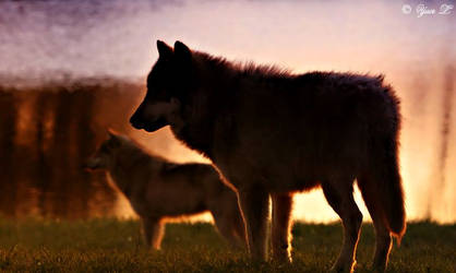sunset wolves by Yair-Leibovich