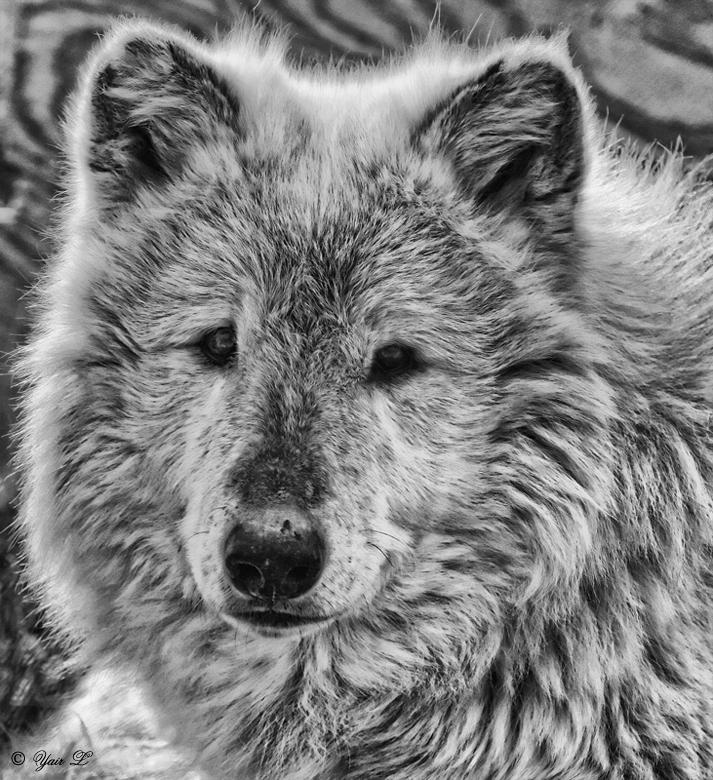 http://fc04.deviantart.net/fs71/f/2011/155/3/6/gray_wolf_portrait_by_wolveskeeper-d3i1en3.jpg