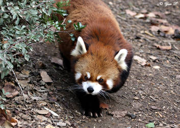 red panda by Yair-Leibovich