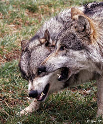 wolves being aggressive by Yair-Leibovich